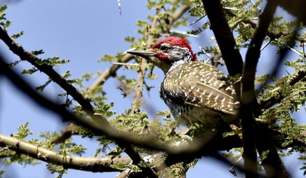 Nubian Woodpecker – male