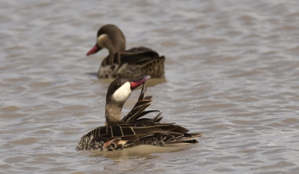 Red-billed Teals – couple