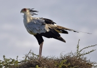Secretary Bird on its nest