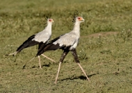 Secretary Birds – couple