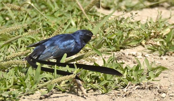 Steel-blue Whydah – br male