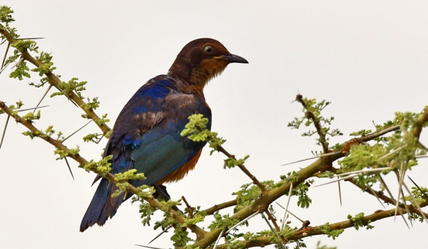 Superb Starling – juvenile