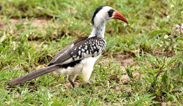 TZN Red-billed Hornbill – f.
