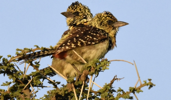 Usambiro Barbets – couple