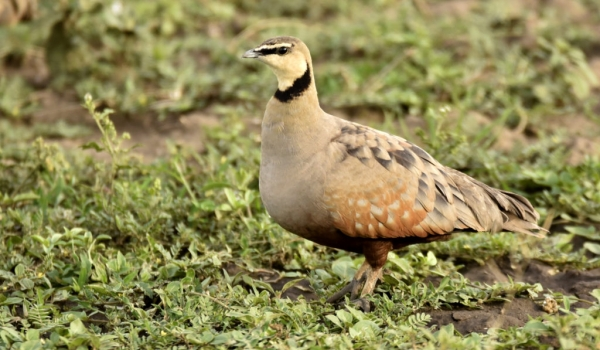 Yellow-throated Sandgrouse m