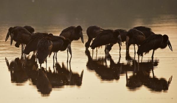 African Open-billed Storks