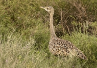 Black-bellied Bustard – f.