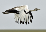 Black-bellied Bustard – m.