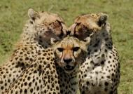 Friendly Cheetahs