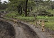 3 Cheetahs – 1 adult & 2 cubs