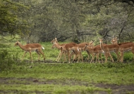 a herd of impalas