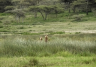 Cheetahs in meditation