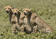 «3 subadults looking at us»