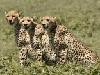 Cheetahs & cubs