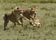 Tanzania – Cheetahs hunting baby Thomson's gazelle