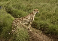 Cheetah female adult