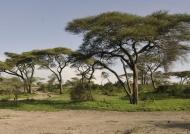 by acacia trees…