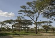 Track between acacia trees