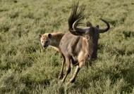 Hyenas hunting Wildebeest