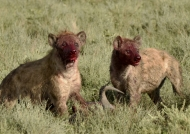 Hyenas with a mask of blood