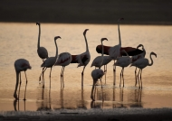 Flamingoes – early meeting