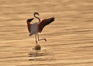 Greater Flamingo dancing