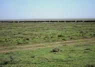 Wildebeests near the skyline