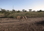 Lion looking for shadow