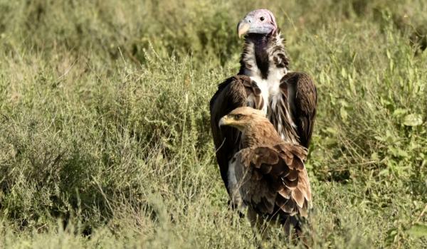 lappet vulture & tawny eagle