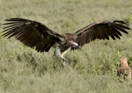 Lappet-faced Vulture lands