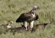 Lappet Vulture on the kill