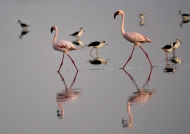 Lesser Flamingoes & Stilts