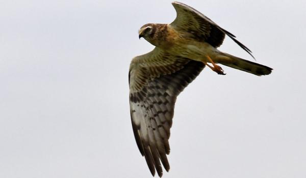 Montagu's Harrier hunting-f.