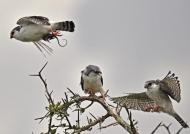 Pygmy Falcons m. – juv f. – f.