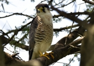 Red-necked Falcon – imm.