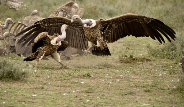 Ruppell's Vultures – fight