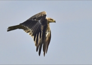 but a Tawny Eagle saw the kill