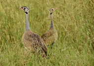 White-bellied Bustard – couple