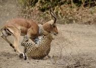 to strangle the Impala,