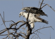 Martial Eagle – immature