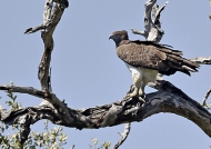Martial Eagle – adult