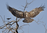 Martial Eagle from the back