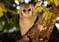 Verreaux's Eagle-owl – juv.