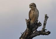 WEST Banded Snake-eagle juv