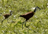 African Jacana with chick