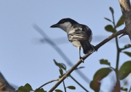 Black-backed Puffback – m.