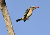 Bw-hooded Kingfisher-female