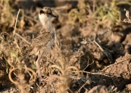 Crowned Lapwing – chick