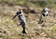 Pied Kingfisher – cple – f. right