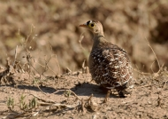 Double-banded Sandgrouse-m